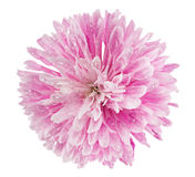 Różowy chryzantema kwiat fotografia stock