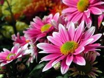 różowy daisy Zdjęcie Stock
