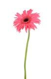 różowy daisy Fotografia Royalty Free