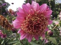 Różowy dalia kwiatu kwiat w ogródzie obrazy royalty free