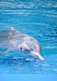 Różowy delfin Obrazy Stock