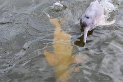 Różowy delfin w amazonka tropikalnym lesie deszczowym, Brazylia Zdjęcia Royalty Free