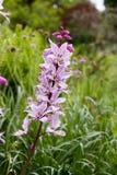 Różowy Diptam w ogródzie (Dictamnus albus) Zdjęcia Stock