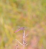 Różowy dragonfly Zdjęcie Royalty Free