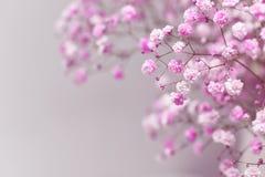 Różowy dziecka ` s oddech Zdjęcie Royalty Free