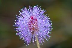 Różowy dzikiego kwiatu mimoz pudica Zdjęcia Stock