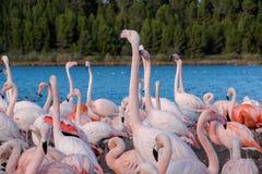 Różowy flaming na jeziorze Obrazy Stock