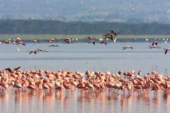 Różowy flaminga kierdel w Nakuru jeziorze Kenja Fotografia Royalty Free