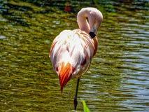Różowy flamongo w wodzie, safari Obrazy Royalty Free