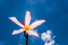 Różowy frangipani Obrazy Royalty Free
