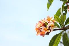 Różowy frangipani Obrazy Stock