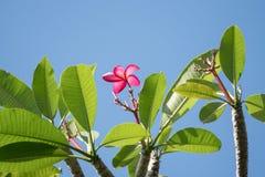 Różowy frangipani kwiat, Phumeria zdjęcia stock