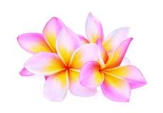 Różowy frangipani, plumeria lub x28; tropikalny flowers& x29; odosobniony zdjęcia stock