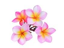 Różowy frangipani, plumeria lub x28; tropikalny flowers& x29; odosobniony obraz royalty free