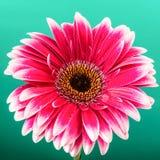 Różowy gerber na zielonym tle Zdjęcia Royalty Free