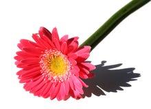 różowy gerbera Obrazy Royalty Free