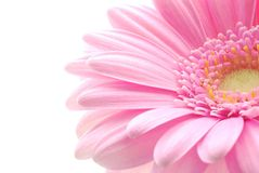 różowy gerbera Obrazy Stock