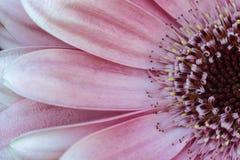 Różowy Gerbera Obraz Stock