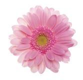 Różowy gerbera kwiat. Fotografia Royalty Free