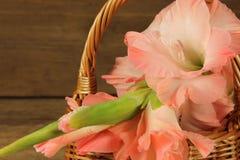 Różowy gladiola Obrazy Stock