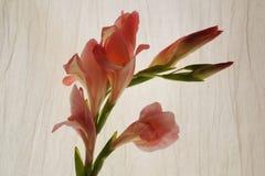 Różowy gladiola Zdjęcie Stock