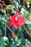 Różowy hibicus kwiat Zdjęcia Royalty Free
