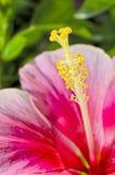 Różowy hibicus kwiat makro- Zdjęcie Royalty Free