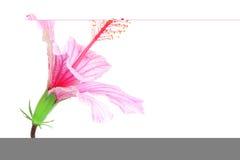 różowy hibiskus Obraz Royalty Free