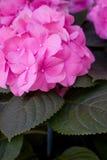 różowy hortensj Fotografia Royalty Free