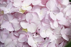 różowy hortensj Obraz Stock