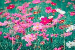 Różowy i czerwony kosmosów kwiatów ogród Obraz Stock