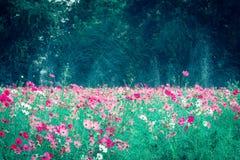 Różowy i czerwony kosmosów kwiatów ogród Obrazy Royalty Free
