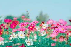Różowy i czerwony kosmosów kwiatów ogród Obrazy Stock