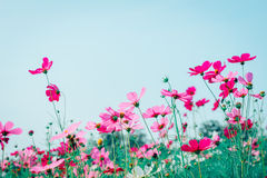 Różowy i czerwony kosmosów kwiatów ogród Zdjęcia Royalty Free