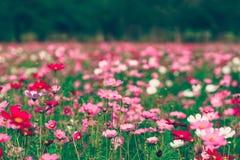 Różowy i czerwony kosmosów kwiatów ogród Zdjęcie Stock