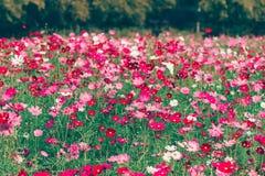 Różowy i czerwony kosmosów kwiatów ogród Zdjęcie Royalty Free