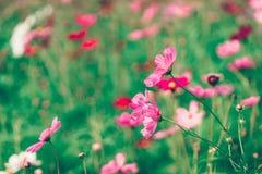Różowy i czerwony kosmosów kwiatów ogród Zdjęcia Stock