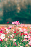 Różowy i czerwony kosmosów kwiatów ogród Fotografia Stock