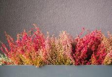 Różowy i purpurowy wrzos w dekoracyjnym kwiatu garnku Obrazy Stock