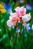 Różowy irysowy tectorum Zdjęcia Stock