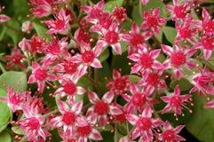 różowy jarzeniowy sedum Obraz Stock