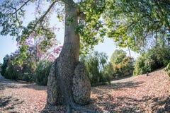 Różowy jedwabniczy floss drzewo w parku Zdjęcia Stock