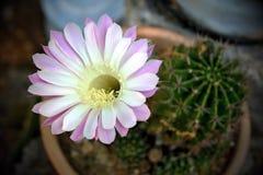 Różowy Kaktusowy kwiat Zdjęcie Stock