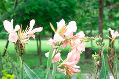 Różowy kanna kwiat Obraz Royalty Free