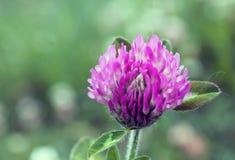 Różowy Koniczynowy kwiat Zdjęcia Stock