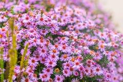 Różowy kosmos kwitnie w ogródzie Zdjęcia Royalty Free
