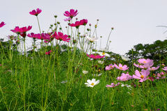 Różowy kosmos kwitnie w ogródzie Fotografia Stock