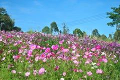 Różowy kosmos kwitnie w polu z niebieskim niebem Obrazy Royalty Free