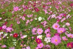 Różowy kosmos w polu Zdjęcia Royalty Free