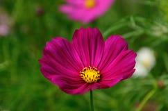 Różowy kosmosu kwiat Obrazy Stock
